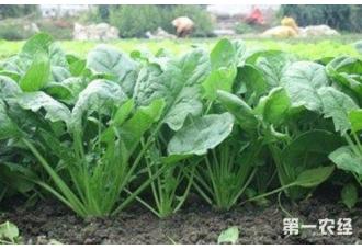 菠菜种植:菠菜怎么越冬管理?