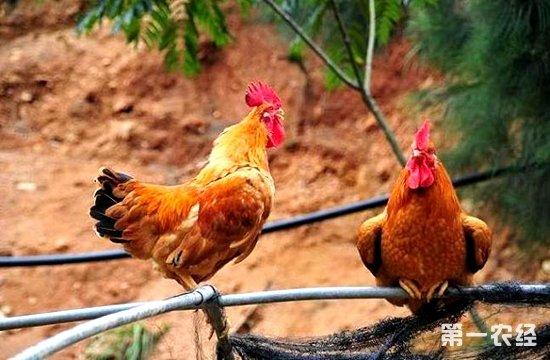 原生态中药喂养效益高 养殖药膳鸡好致富