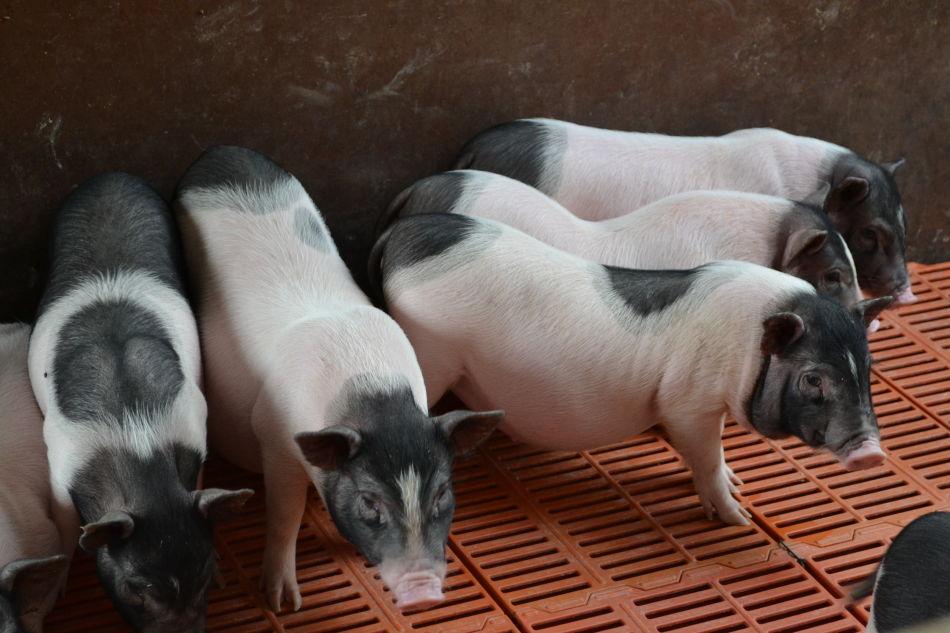 搬家到陕西的巴马香猪