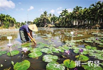 目前,该院已初步建立了睡莲种质资源圃和育苗基地,先后引进热带睡莲
