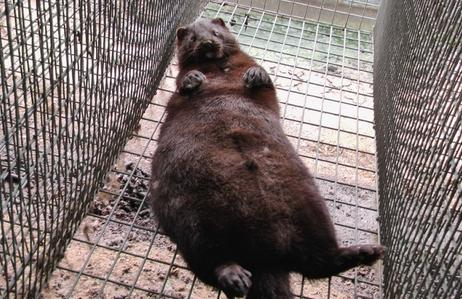 毛皮动物养殖:多赚一倍的咖啡貂