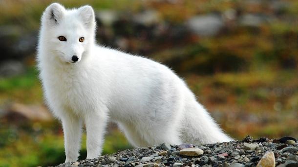毛皮动物养殖:漠河蓝狐的赚钱之道