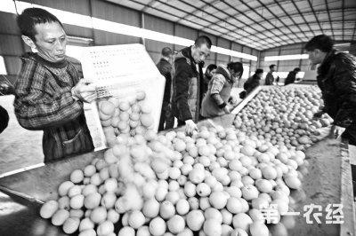 重庆双龙18万吨脐橙丰收  远销海外