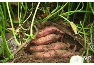 红薯种植:红薯膨大期怎么追肥好?