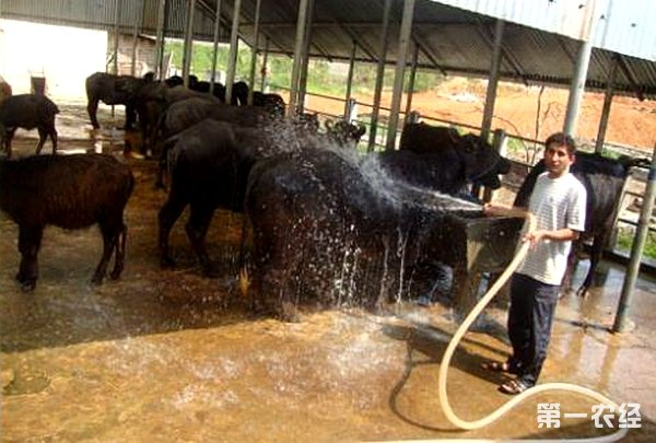 在整个南方地区的气候条件都是适宜养殖摩拉水牛的