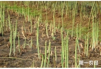 芦笋种子种植前怎么处理?