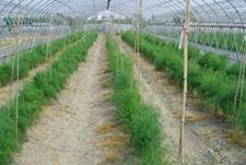 芦笋怎么进行无公害种植?