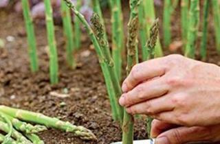 【芦笋专题】芦笋种植技术|芦笋病虫害