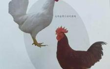 我国自主育种优秀民族鸡种 每只鸡可增收4-5元