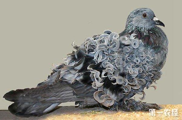 鸽子生病识别方法 怎么看出鸽子是否生病图片
