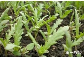 茼蒿种植:大叶茼蒿怎么种?