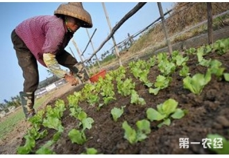 生菜种植:生菜露地栽培技术要点