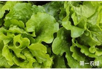 夏季高温生菜种子怎么催芽处理?