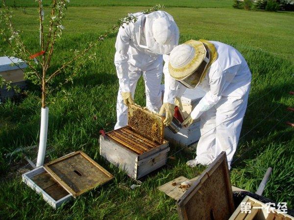 【小编点评】为此第一农经网小编汤姆为探索大棚里的养蜂的你整理了《2016养蜂好赚吗? 2016年养蜜蜂效益如何?》一文。养蜂即蜜蜂养殖是人工饲养蜜蜂而取其产品包括蜂蜜、蜂王浆、蜂胶、花粉、蜂蜡等产品的事业,包括在广义的畜产内,所以广义地说蜜蜂也是家畜。蜜蜂养殖的历史有数千年之久,蜂蜜的利用是从渔猎时代开始的。公元前7000年的中石器时代,在西班牙的壁画中,就有女子攀藤采蜜的图。在公元前2600年埃及第五王朝的寺庙里,遗存有刻着养蜂人向蜂窝吹烟驱蜂的浮雕。这是世界上最早饲养蜜蜂的史实。历史学家以及研究者