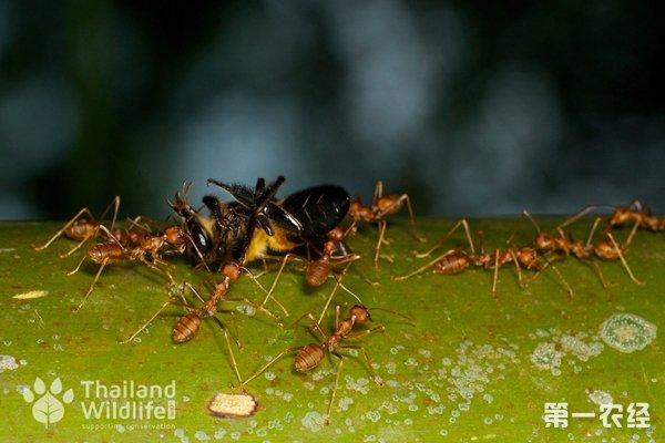 蜜蜂怕蚂蚁