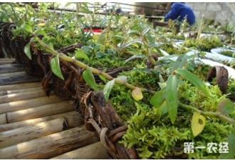 石斛种植技术讲解:石斛怎么人工栽培呢?【视频