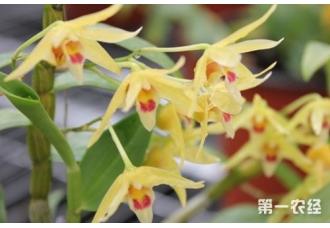 石斛养殖:铁皮石斛花有几种颜色?【图片欣赏