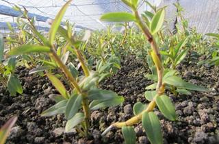 【石斛专题】铁皮石斛种植栽培技术|病虫害