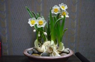 【水仙花专题】水仙花的养殖方法|病虫害