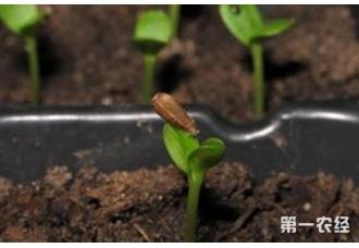 怎样提高瓜类种子的发芽率?