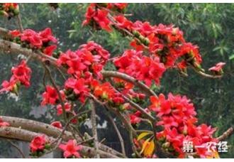 木棉花的花语是什么,木棉花主要分布在哪?