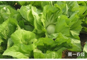 芥菜种植:大肉包心芥菜怎么种植?