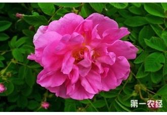 蔷薇养殖:突厥蔷薇怎么盆栽养殖?