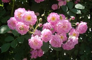 【蔷薇专题】蔷薇花的养殖方法|病虫害