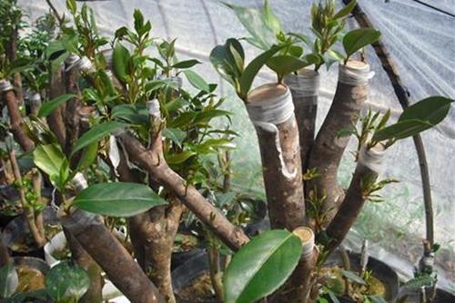 油茶树怎么嫁接茶花 油茶树嫁接技术