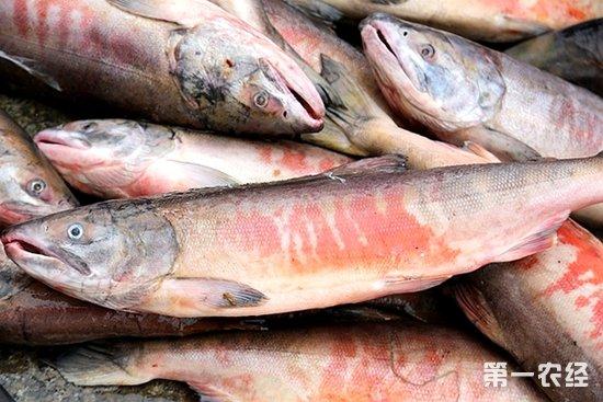 黑龙江特产,抚远特产,大马哈鱼,大马哈鱼的做法