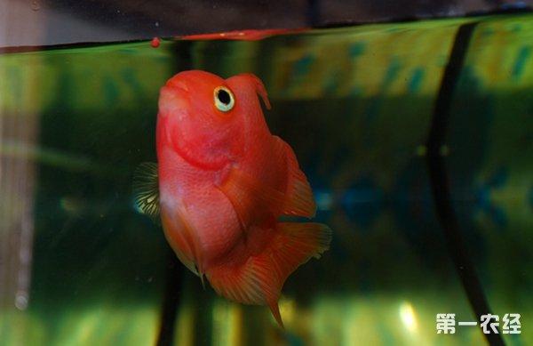 鹦鹉鱼相对来说比较皮实、好养. 保持良好的水温(28度最佳)及水图片