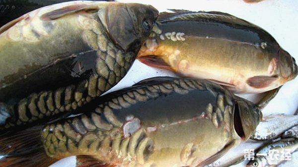鲤鱼的头部结构图
