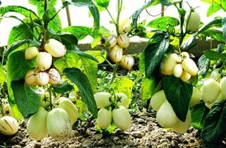 【人參果專題】人參果種植技術|病蟲害