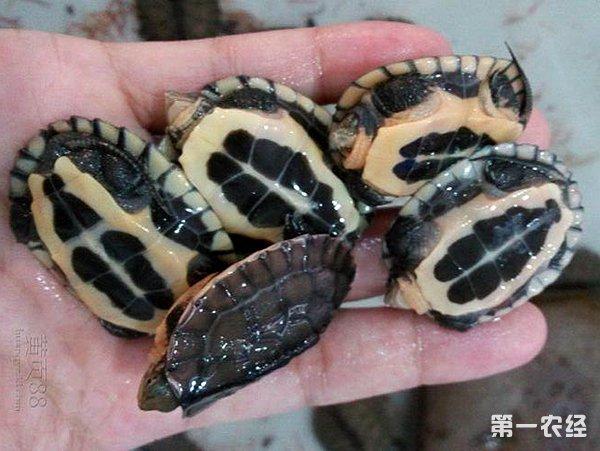 专家预测2016年南种石龟苗价格 - 养殖技术 - 第一农经 ...
