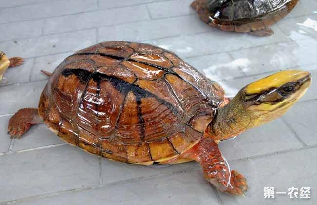 7.越冬。越冬的方法有两种:一是加温养殖越冬,让龟在适温条件下正常摄食生长,渡过越冬期;二是自然越冬,停食冬眠。由于稚龟个体小,体内储存的营养物质少,对环境适应能力差,在越冬后期死亡率较高,所以在越冬前要延长稚龟的生长期。一般经过一至两个月的精心喂养,进行自然越冬就比较安全了。自然越冬的方法一是带水越冬,放入5~10厘米左右的水,不喂食,冬季保持水面不结冰。水温最好控制在2~10之间。水温太高,不利于越冬。二是黄沙越冬,放入10厘米以上厚的黄沙,加入适量水,使黄沙保持潮湿,把龟放在沙面上,小龟会自行钻