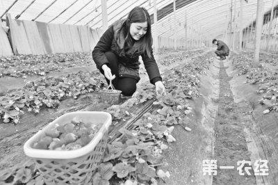 河南孟州:农业观光园内草莓红