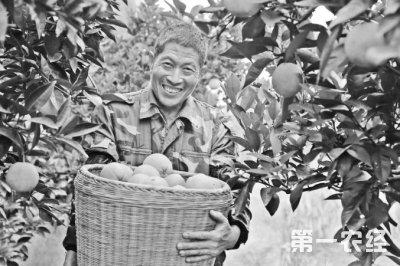 四川泸州老农种脐橙  年收入破12万元