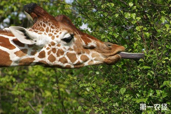 长颈鹿吃什么?
