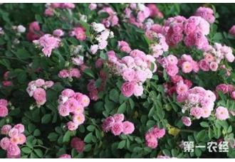 蔷薇与月季、玫瑰三者间有哪些区别?