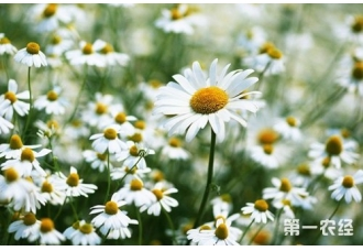 雏菊花语是什么?雏菊什么时候开花?