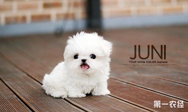 """【小编点评】茶杯犬,又名茶杯贵宾犬,是世界上最小的狗,起源于美国,是一种高级宠物犬。它的体型标准在8英寸以下,体重低于4磅。微小茶杯贵宾犬(Tiny teacup poodle)体型更小,俗称""""娇小""""贵宾犬或""""口袋""""贵宾犬,标准是7英寸以下,体重低于3磅。第一农经网小编汤姆为探索最小的狗的你整理了《什么狗最小? 哪种狗最小?》一文。"""
