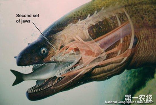 """据韩先朴1993年报道,病鱼严重出血,主要是颅腔出血,脑及脑神经受压,引起上、下颌萎缩;其次是口腔、头部肌肉出血;病鱼的骨骼疏松,极易破碎、骨折,骨缝结合部松脱,其间有白细胞浸润;最明显的为额骨、顶骨离位,颅腔""""开天窗"""";齿骨与关节骨之间的连接处松脱,因此口腔张开,不能闭合,故名出血性开口病。病鱼的白细胞数量大增,约为红细胞数的1/10;白细胞中淋巴细胞占80%以上;病鱼严重贫血,红细胞数只有健康鳗的1/3-1/4;肝脏、脾脏、肾脏肿大。因此,可能是由病毒引起的淋巴细胞白血病。"""