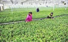 湖北宜昌:春季新茶苗培育忙