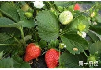 草莓开花结果期用什么肥料比较好?