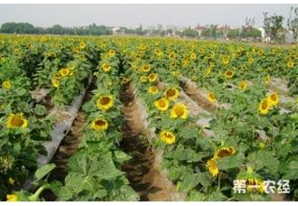 向日葵怎么种?种植向日葵要注意什么?