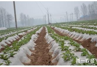 油葵种植:春油葵地膜栽培如何才能高产?