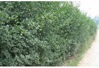 适合做围墙的植物有哪些?