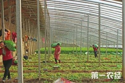 济南白桥芹菜丰收 亩产达5000公斤