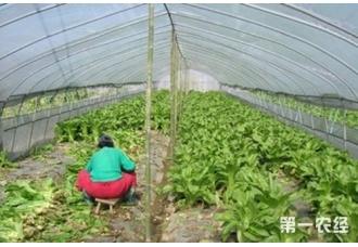 莴苣种植:小拱棚种莴苣需要注意哪些事项?
