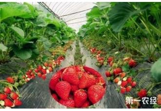 大棚草莓种植:异常天气的管理要点
